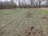Picture of feral swine damage in field
