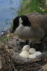 Canada goose with nest of eggs