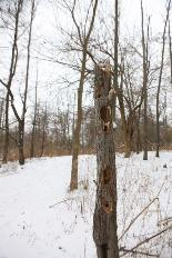 Woodpecker cavities and feeding activity on dead tree