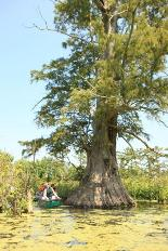 Canoeists paddle past large bald cypress tree