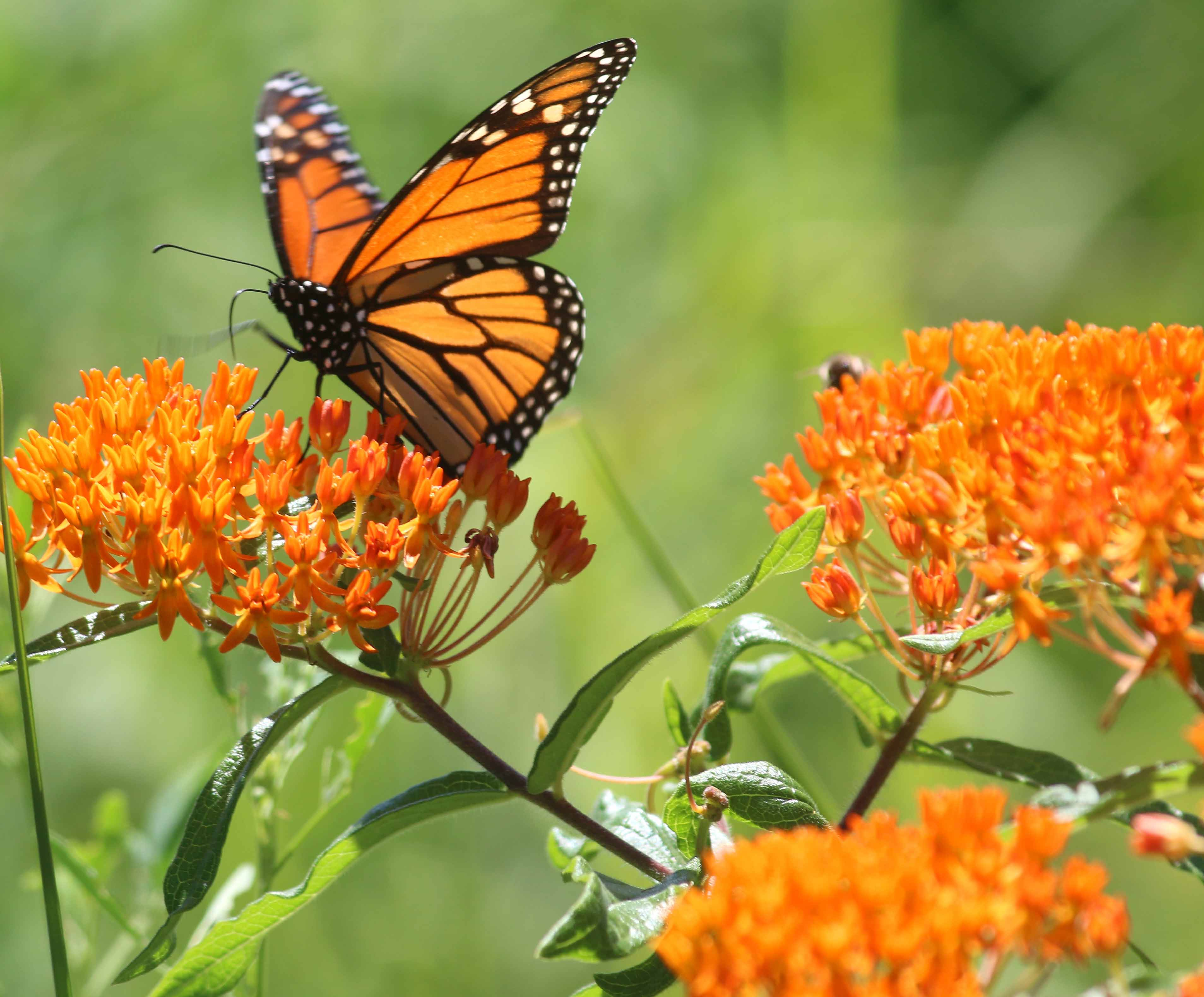 Monarch butterfly Weed