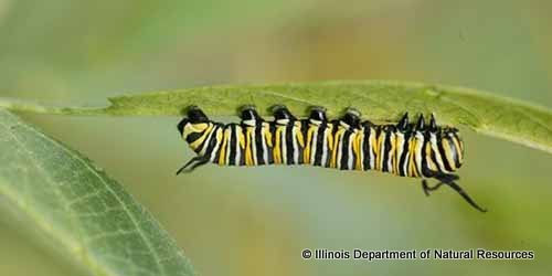 Monarch Larva