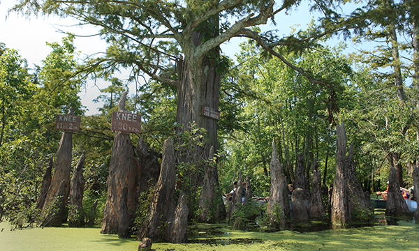 200 Plus Years Old Cypress Trees