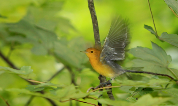 Cache River SNA Prothonotary Warbler