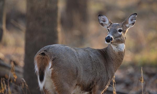 Steer clear: Deer mating season is here