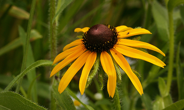 Image result for black eyed Susan growing beside a railroad