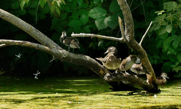 I&M Canal Wood Ducks