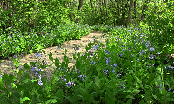 Illini-Wek Trail-Virginia Bluebells