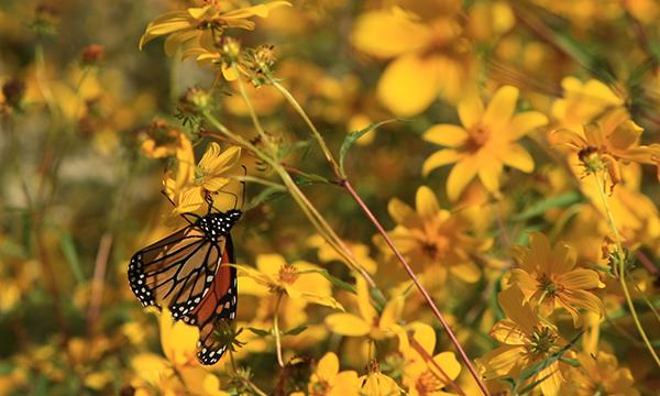 Monarch on Swamp beggar's tick