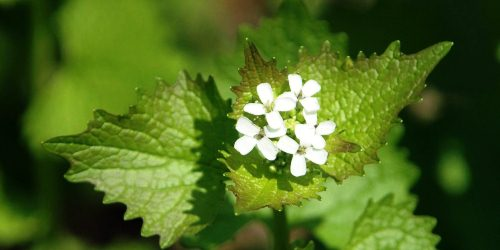 Garlic Mustard-DNR Chris Evans