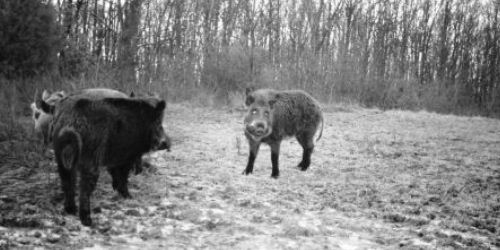 Feral Swine - USDA-APHIS Wildlife Services