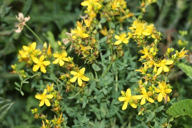 Education common st johns wort is a perennial herb that grows from fibrous roots its stem is upright branched and smooth leaves are arranged opposite each other mightylinksfo