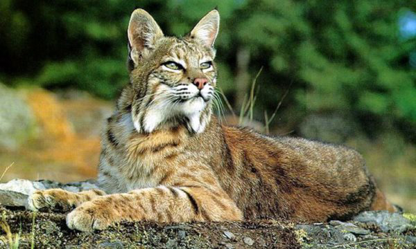 Apply for a Bobcat Permit