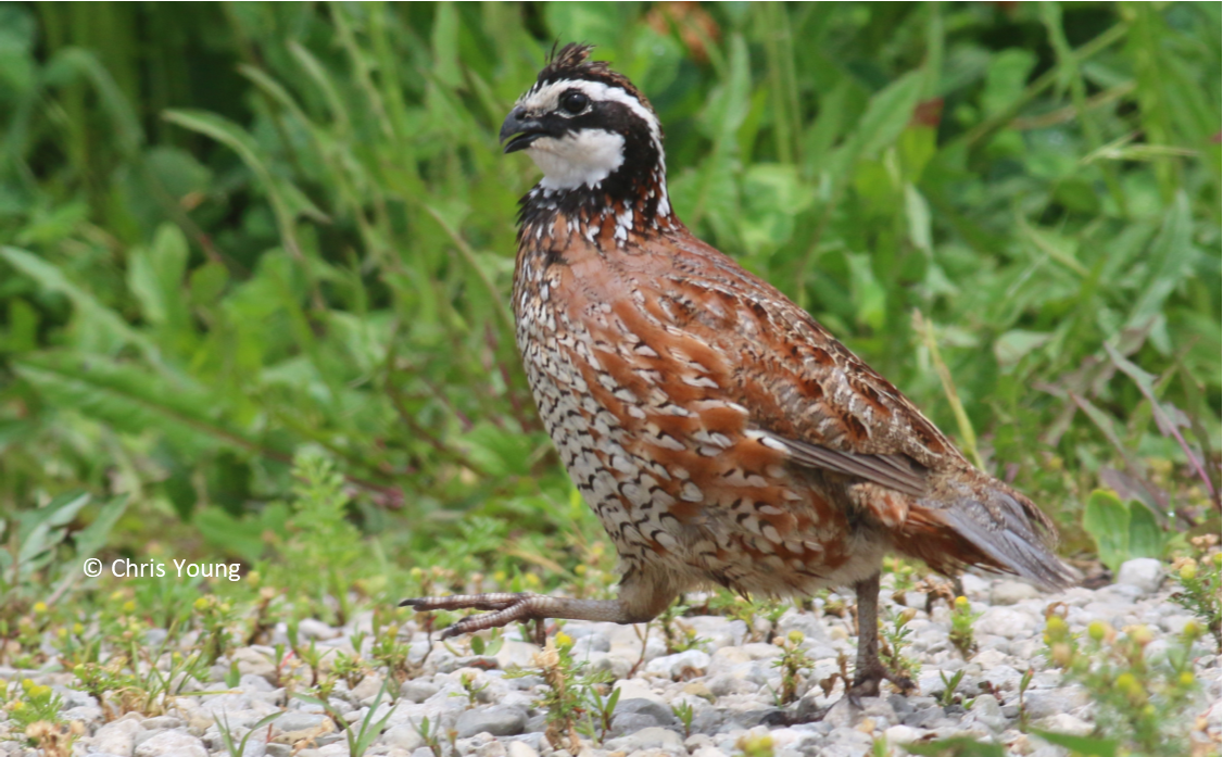 https://www2.illinois.gov/dnr/hunting/uplandgame/PublishingImages/Bobwhite.png