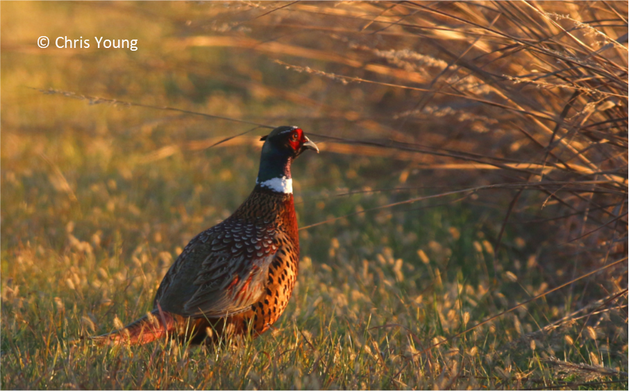 https://www2.illinois.gov/dnr/hunting/uplandgame/PublishingImages/pheasant_sitem.png