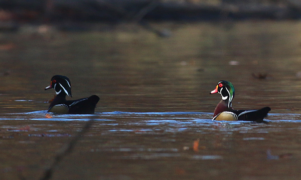 Two Wood Ducks