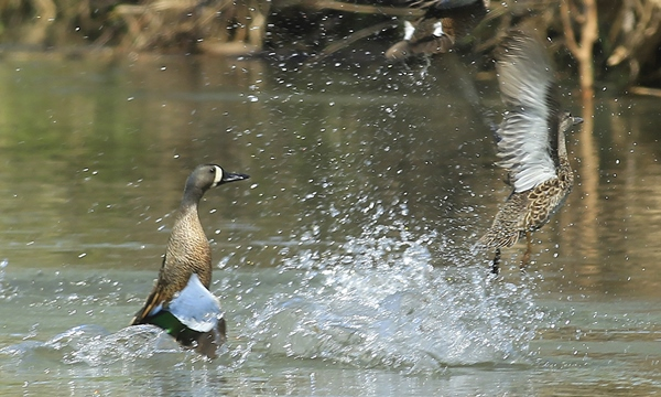 Waterfowl for Illinois dnr fishing license