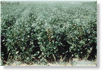 Soybeans fields