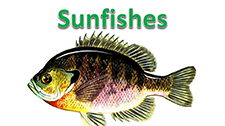 June2016Sunfishes.PNG