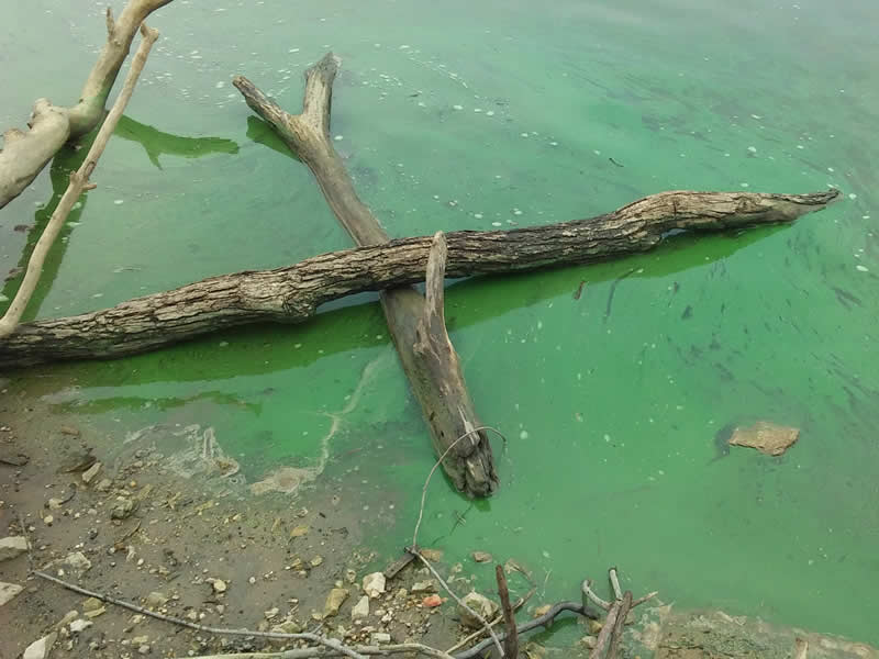 Blue-Green Algae and Harmful Algal Blooms