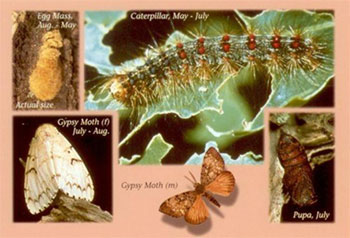 seasons of the gypsy moth